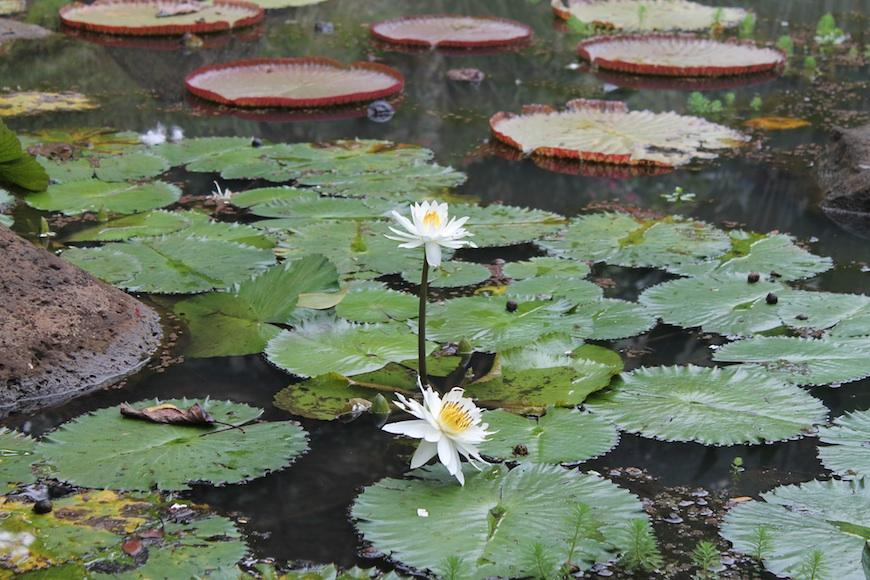 gansta lilies